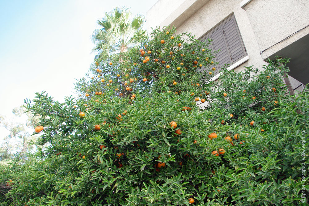 mandarin tree Растут мандарины на Кипре
