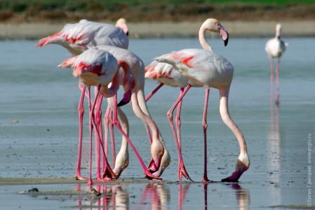 Фламинго едят вниз головой