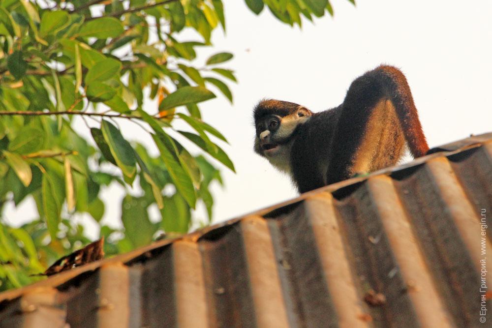 Обезьяна на крыше чилаута Уганда