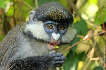 Морда питающейся краснохвостой обезьяны Африка