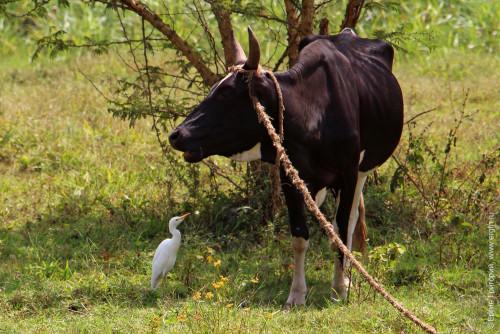 Корова и белая цапля в Уганде