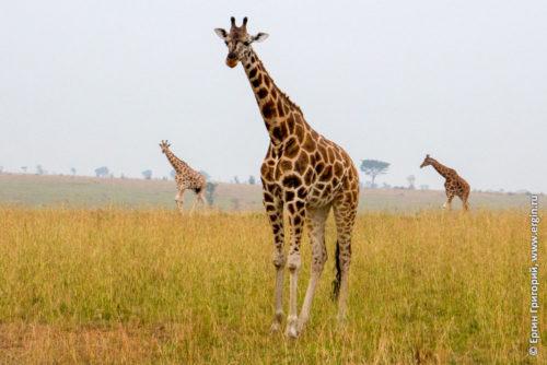 Три жирафа в саванне Африка Уганда