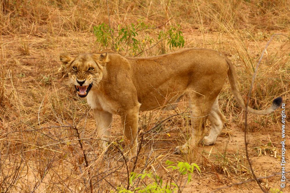 Львица рычит в африканской саванне