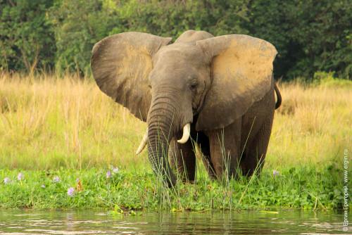 Арфиканский слон