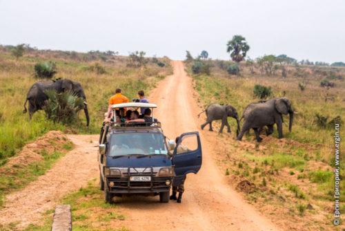 Сафари слоны идут мимо машины
