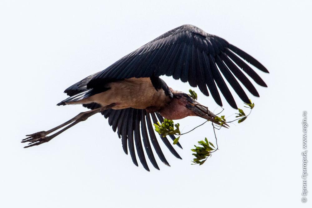 Летящий марабу с веткой в клюве