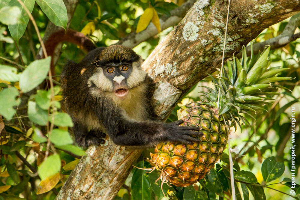 Недоуменная обезьянка с ананасом