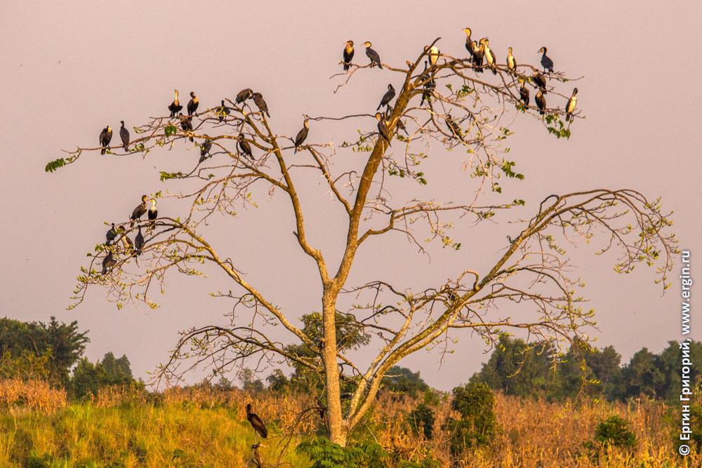 Дерево и птицы бакланы змеешейки