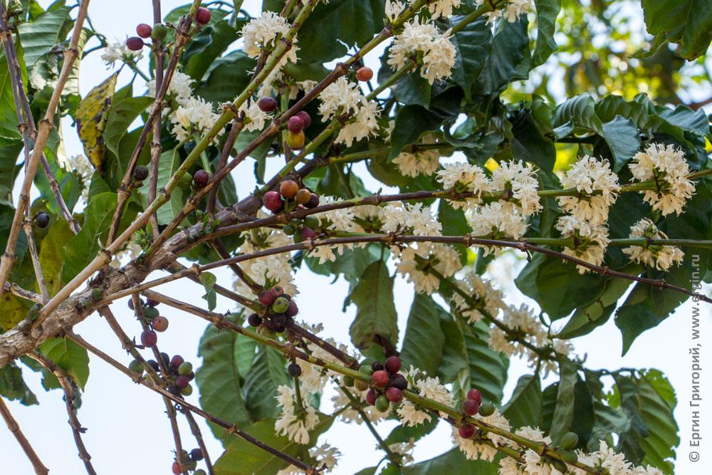 Цветы и ягоды кофе одновременно