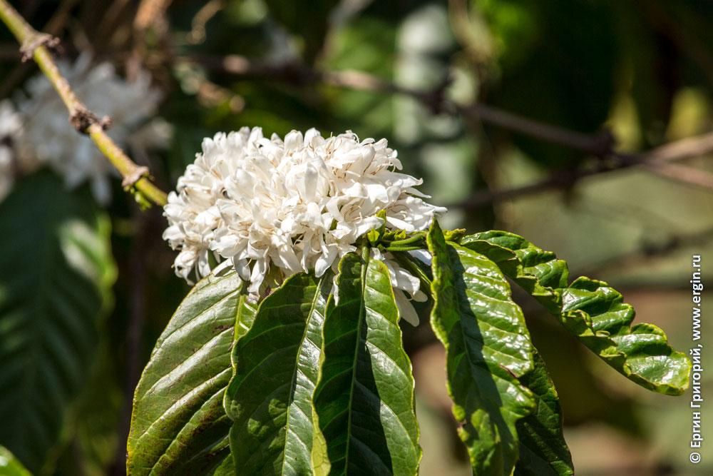 Цветы и листья кофе