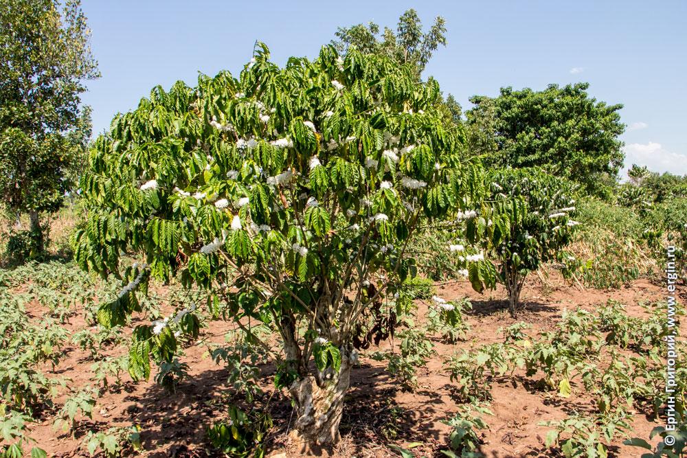 Кофейное дерево в цвету