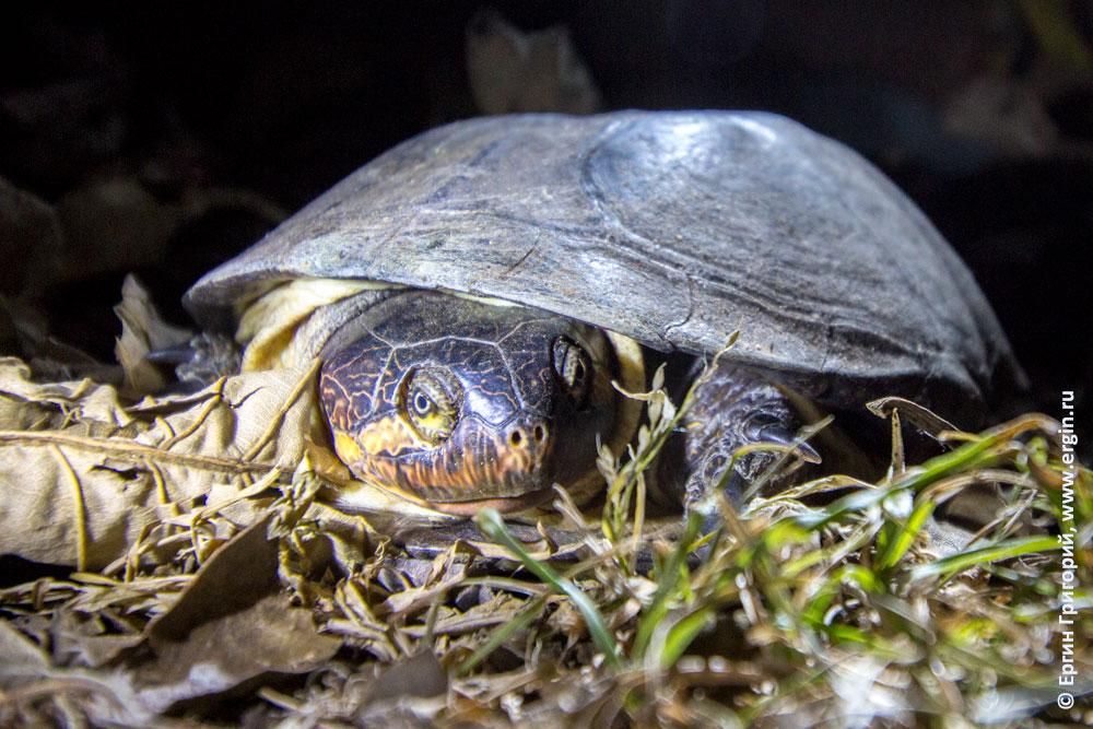Африка черепаха приползла ночью