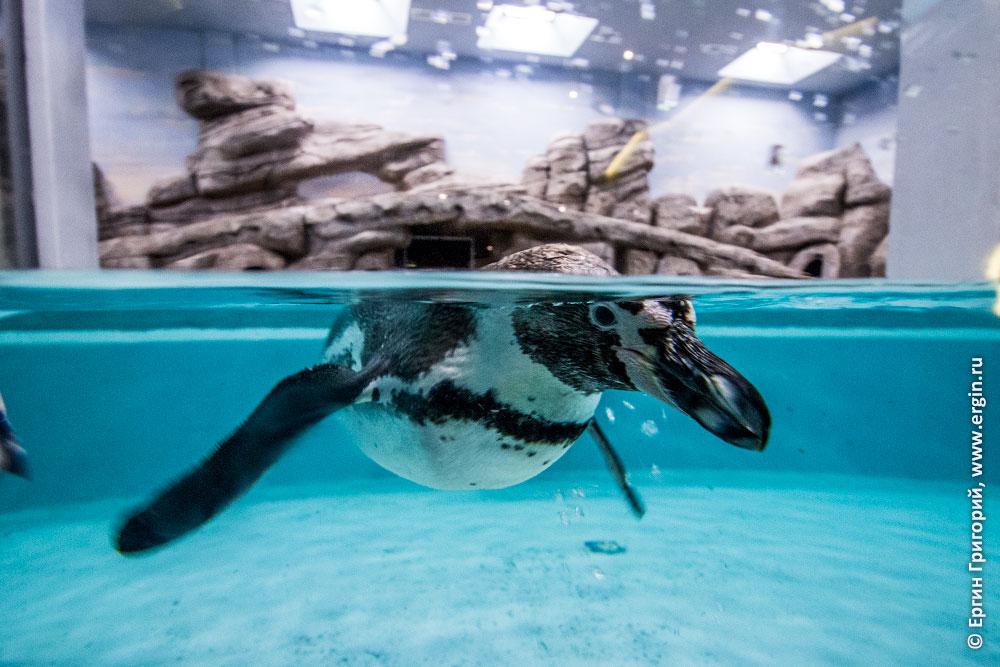 Пингвин в зоопарке в вольере за стеклом город Новосибирск