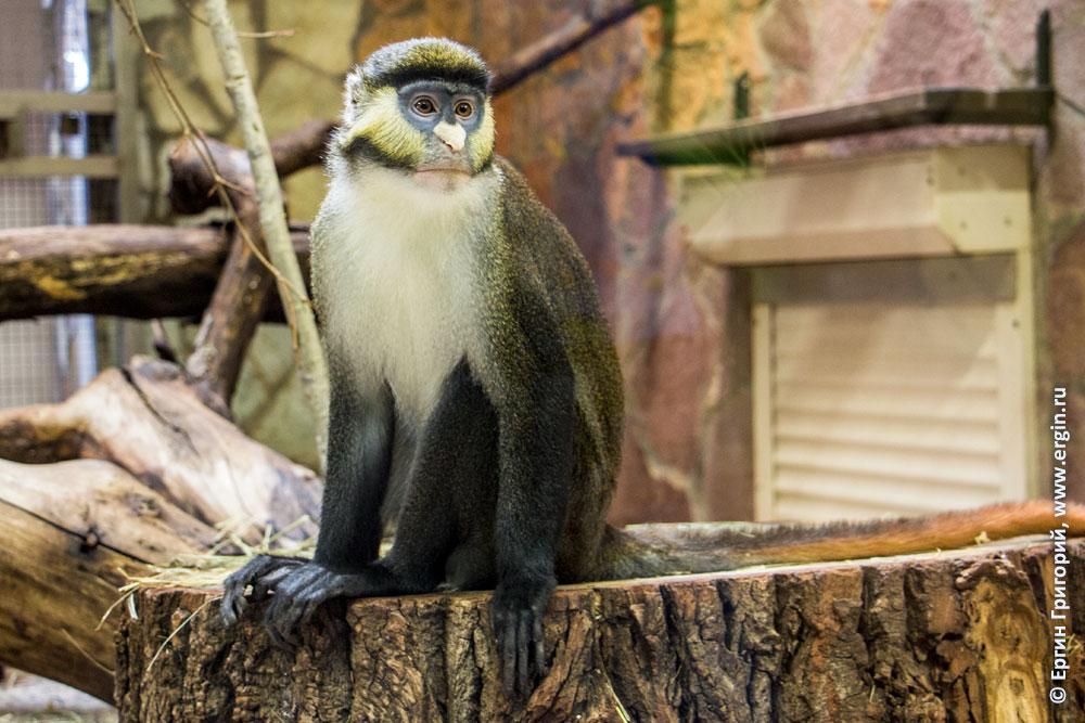Краснохвостая обезьянка в Ленинградском зоопарке
