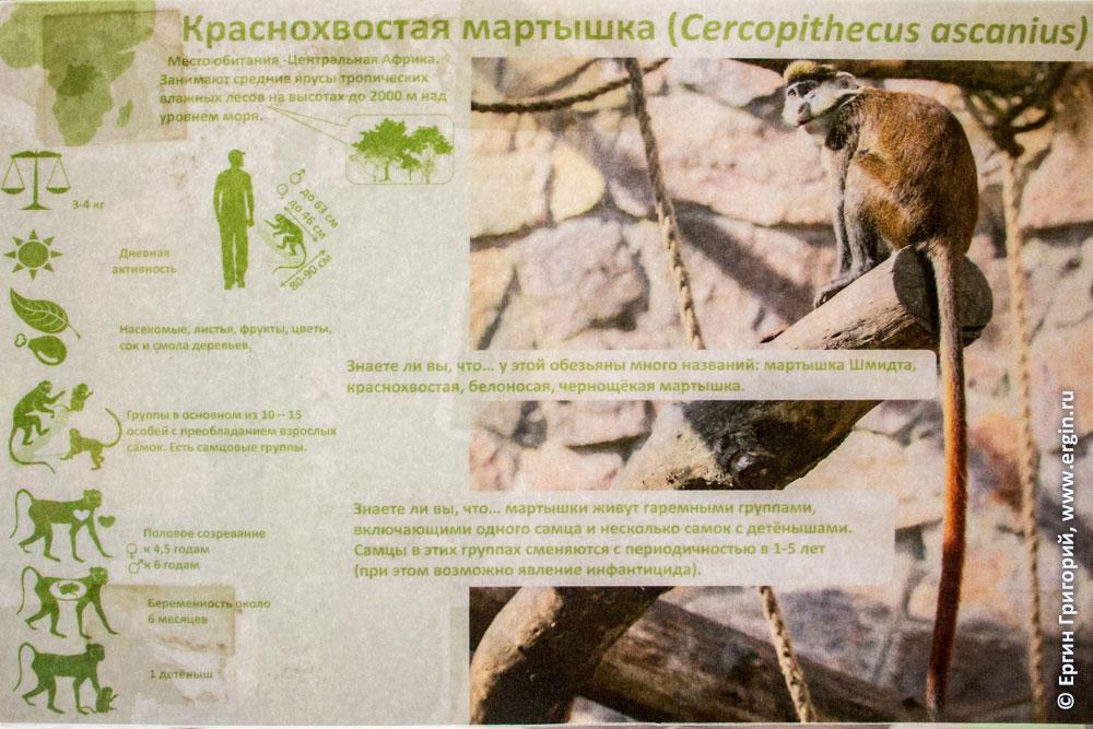 Справочная Информация о краснохвостых мартышках