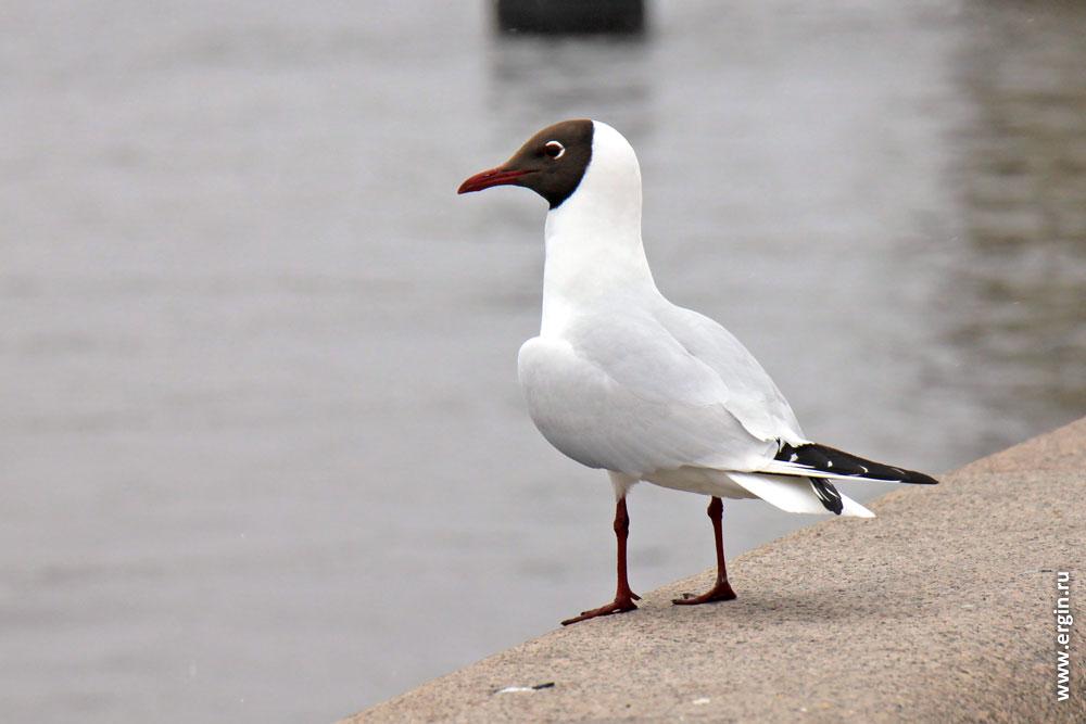 Чайка на набережной Невы