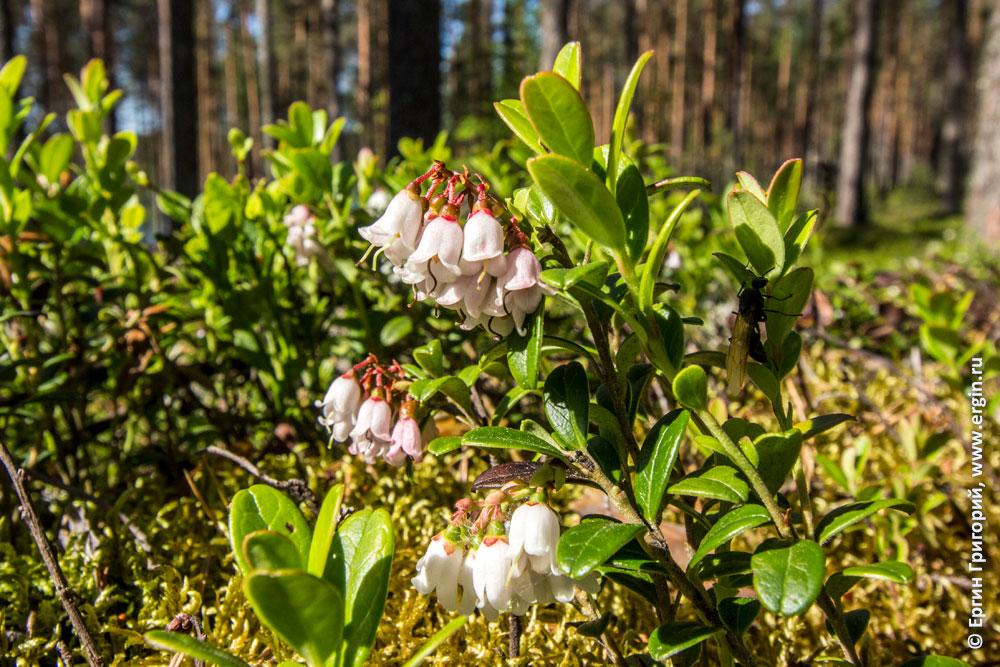 Брусника цветет белые цветы кемпинг Нейтикоски Финляндия