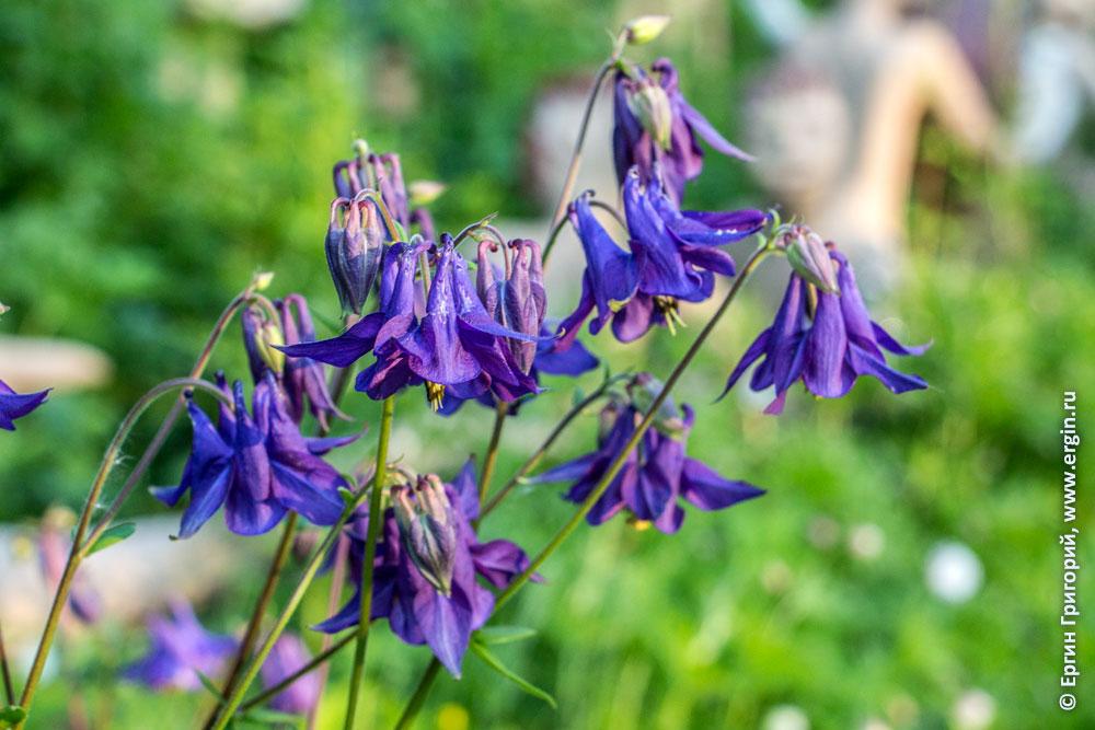 Финляндия Патсаспуйсто цветы