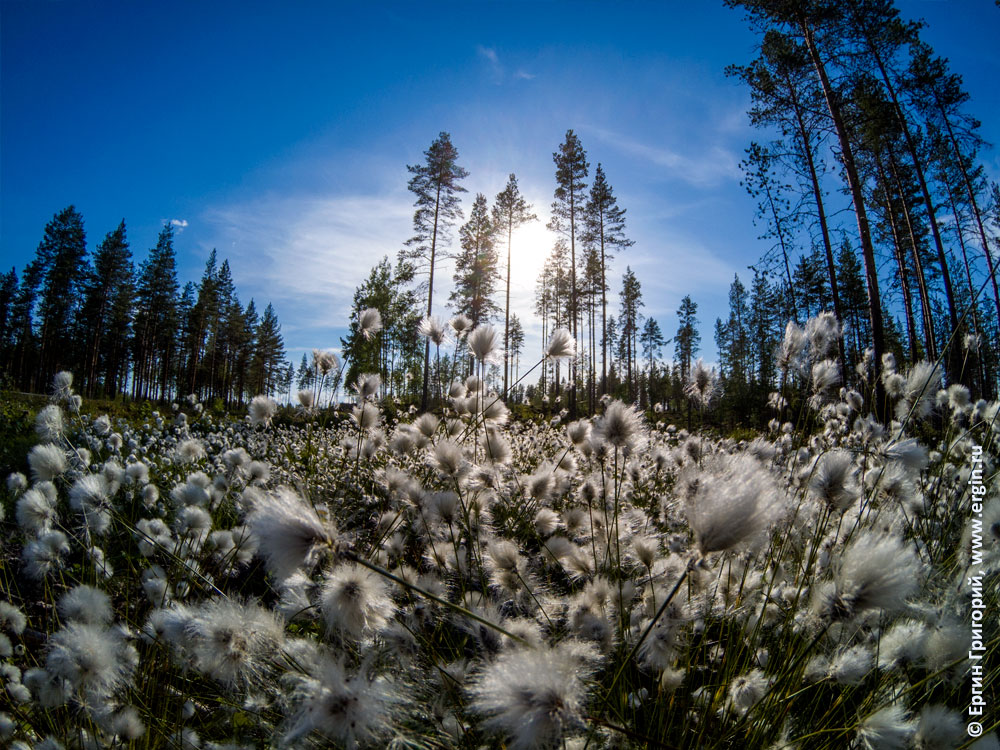 Пушица влагалищная белые пушистые болотные цветы