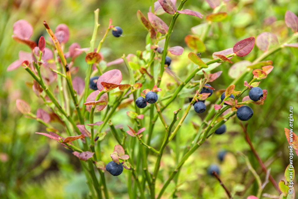 Куст черники с ягодами в Лиексе кемпинге Нейтикоски
