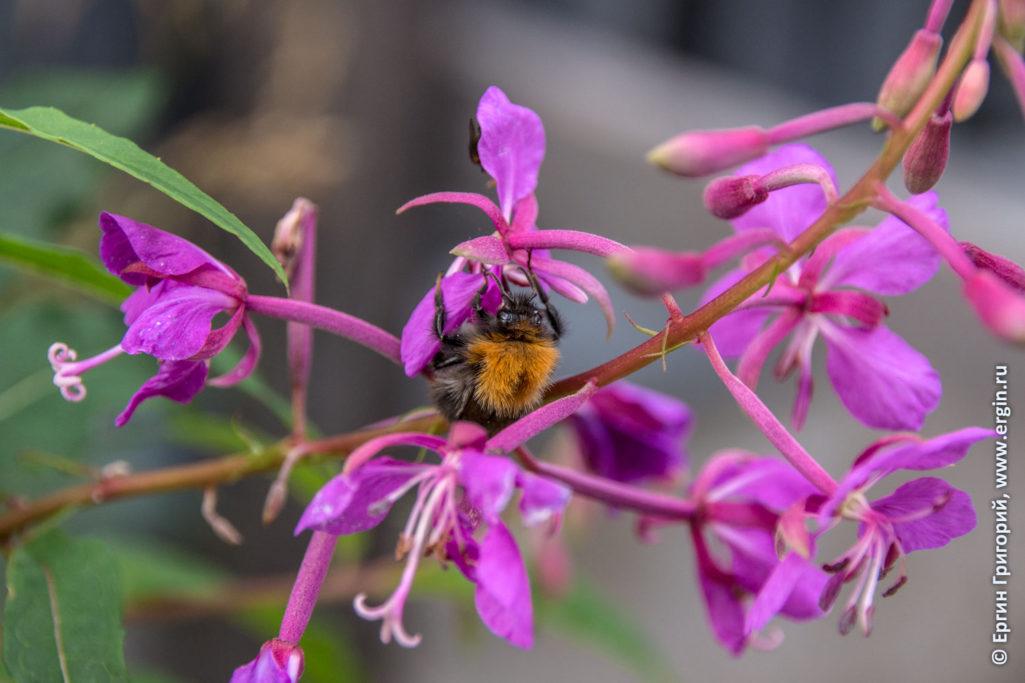 Шмель на цветке в Лиексе кемпинге Нейтикоски