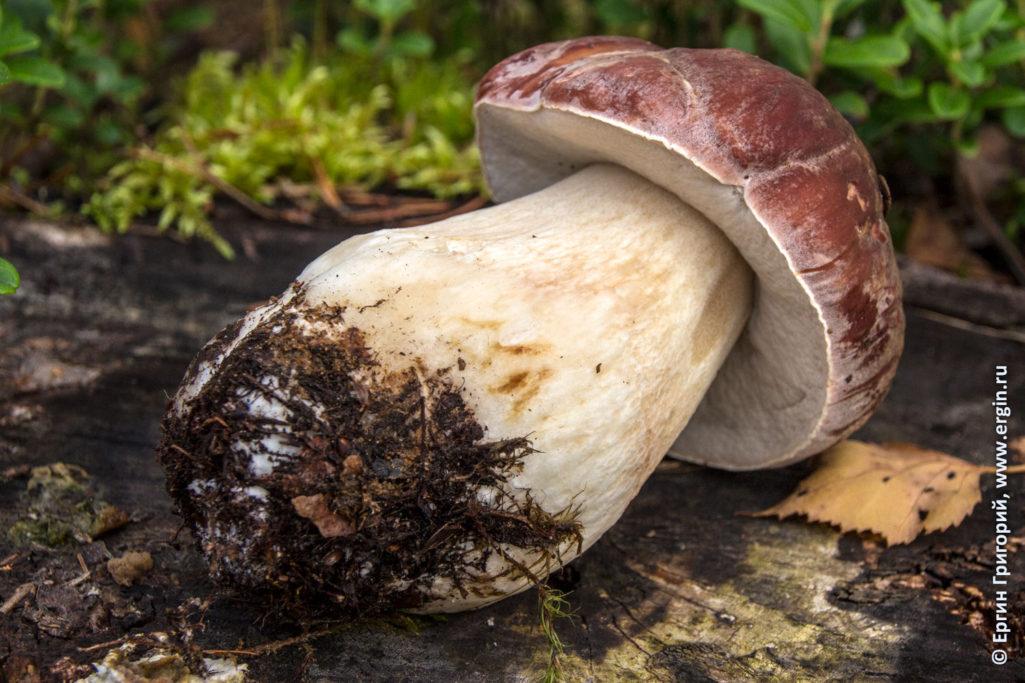 Белый гриб найденный в Лиексе кемпинге Нейтикоски