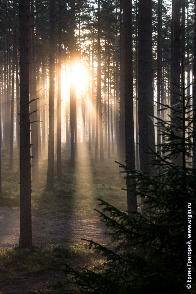 Солнечные лучи сквозь стволы сосен в Нейтикоски