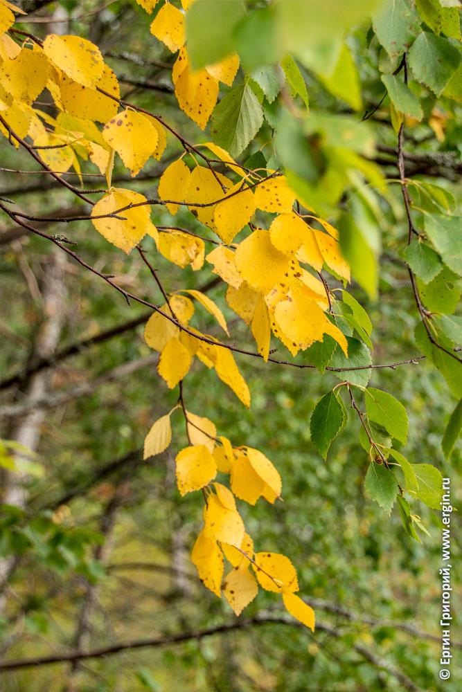 Желтые листья в Лиексе