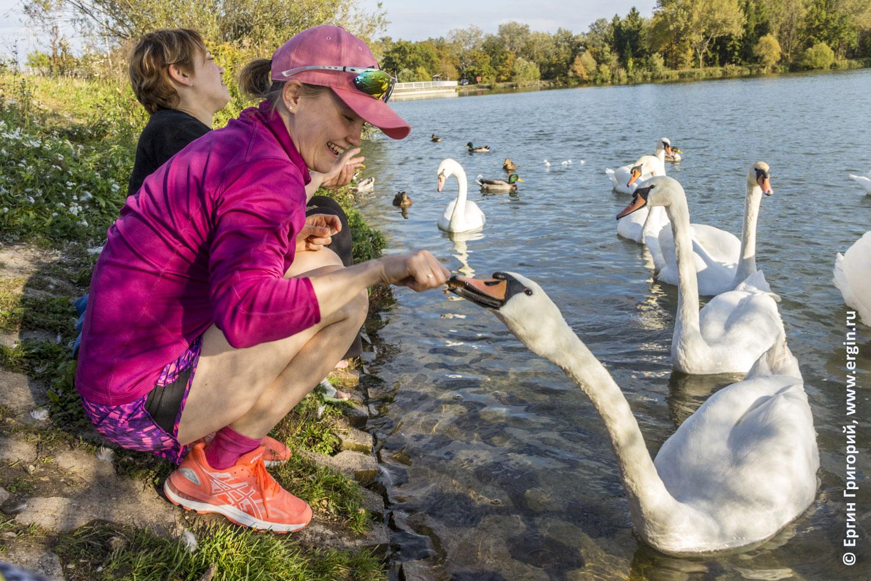 Платтлинг кормление лебедей у плотины