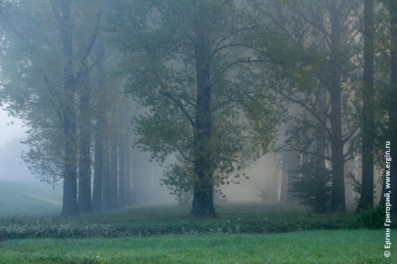 Платтлинг деревья в густом тумане