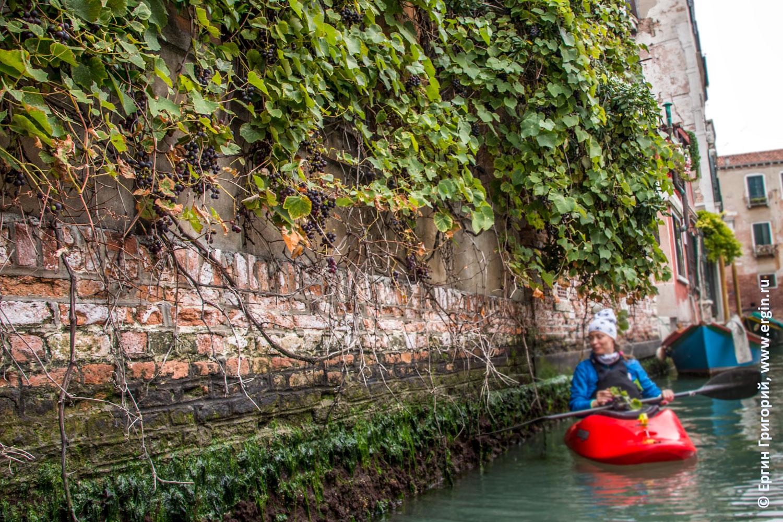 Венеция стена с виноградом на канале с каякером