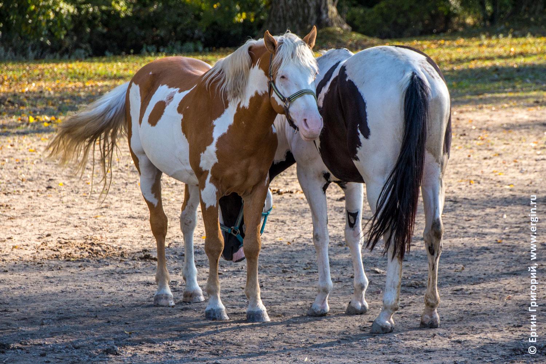 Платтлинг лошади в загоне