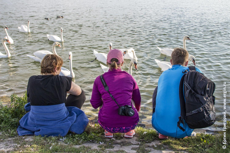 Кормление лебедей людьми в Платтлинге Германия Бавария