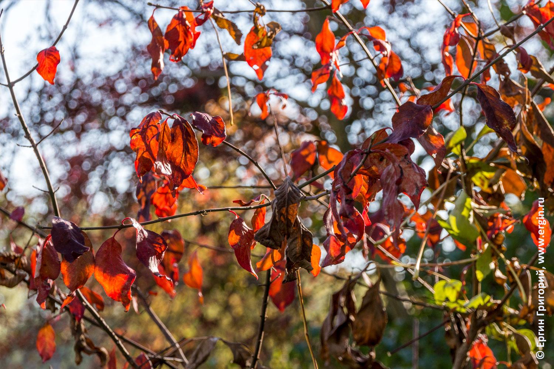 Красные листья на просвет как витраж в Платтлинге