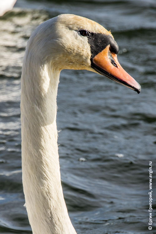 Голова лебедя у плотины в Платтлинге Германия
