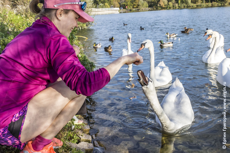 Лебедь открывает клюв в ожидании пищи Платтлинг