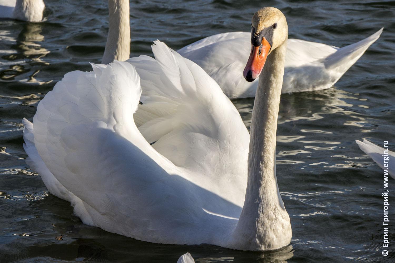 Лебедь у плотины в Платтлинге Германия
