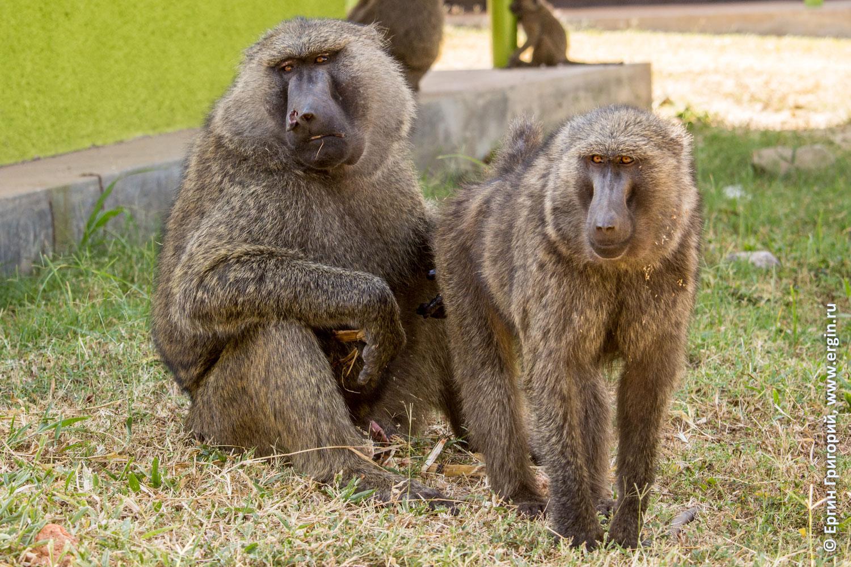 Семья бабуинов самка самец