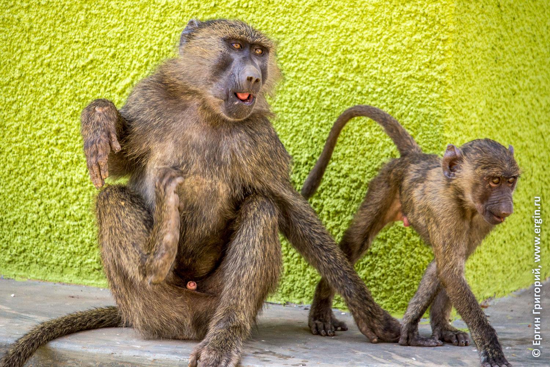 Малыш бабуин и подросток обезьяны в Африке