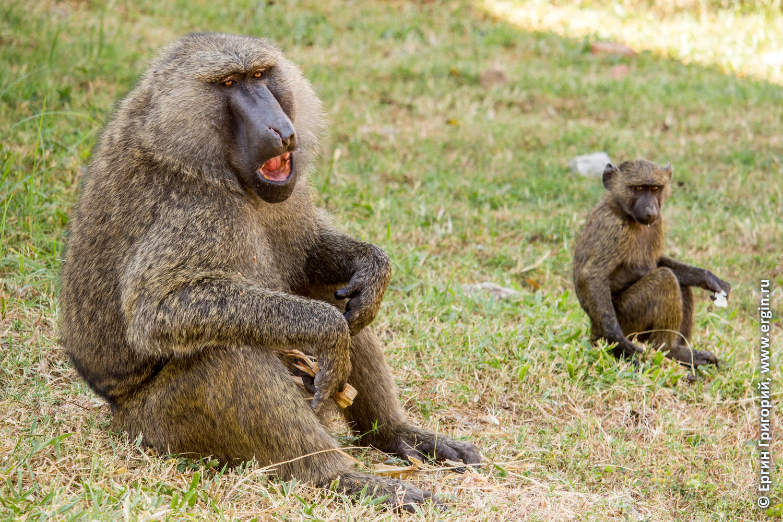 Африка самец бабуин вожак стаи