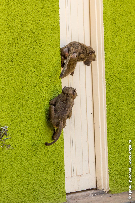 В дверь лезут детеныши обезьян бабуинов