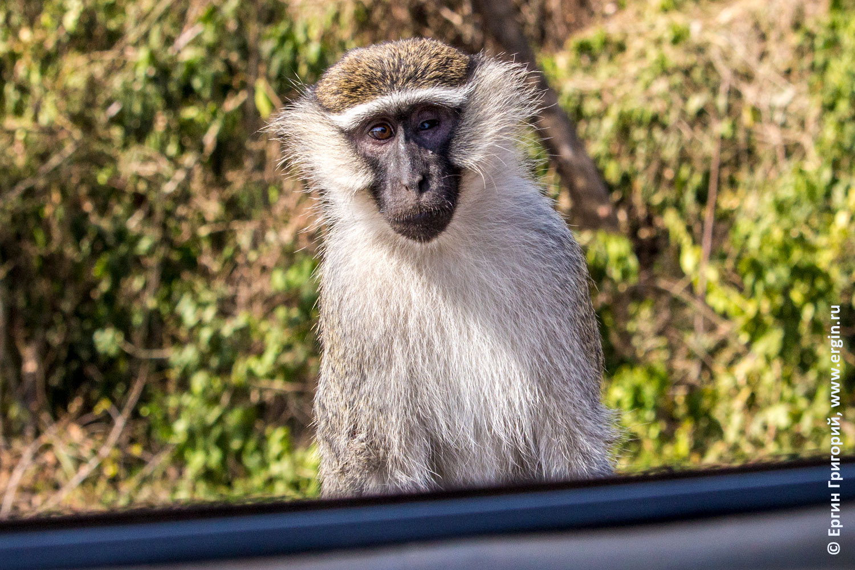 Верветка Мартышка в Уганде Африка