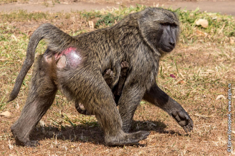 Уганда Африка самка бабуина