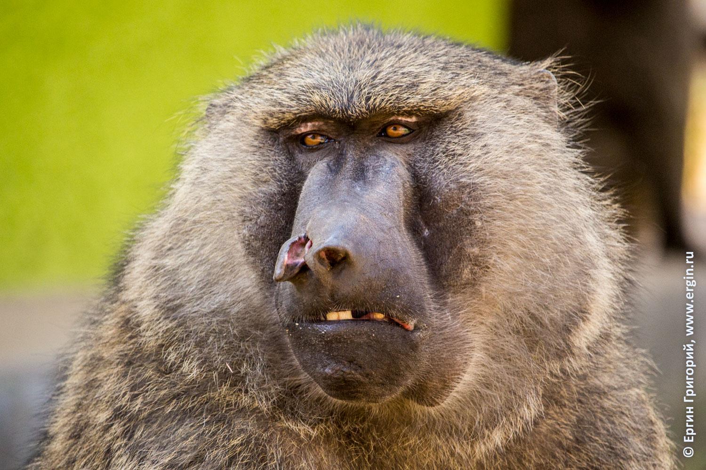 Бабуин герой уличный драк порванный нос
