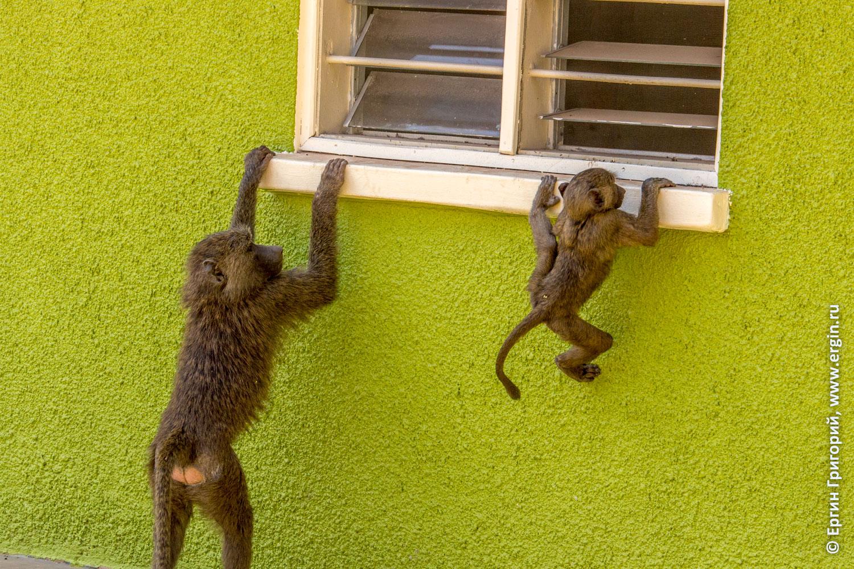 В окошко лезут детеныши обезьян бабуинов