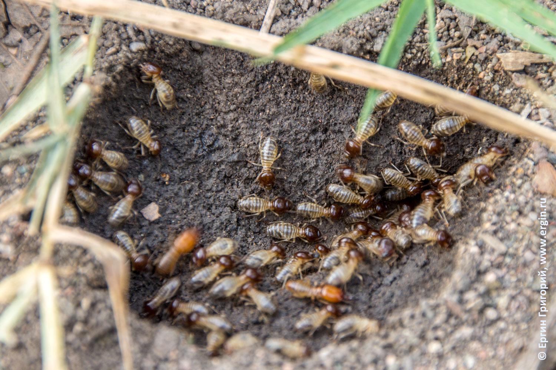 Полупрозрачные насекомые с коричневыми головками термиты