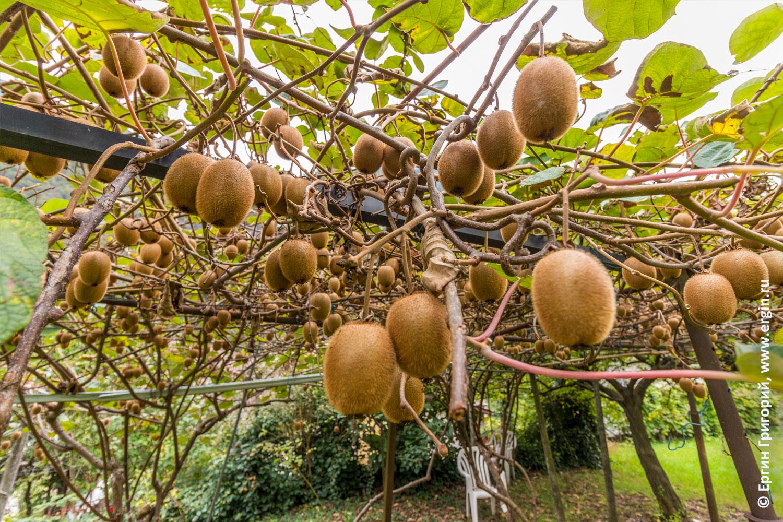 Как растут киви в Италии в саду на дереве