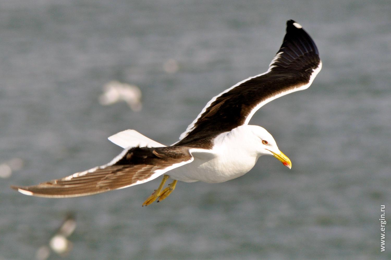 Летящая за паромом между Турку и Стокгольмом чайка