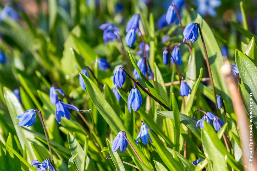 Весенние цветы колокольчики