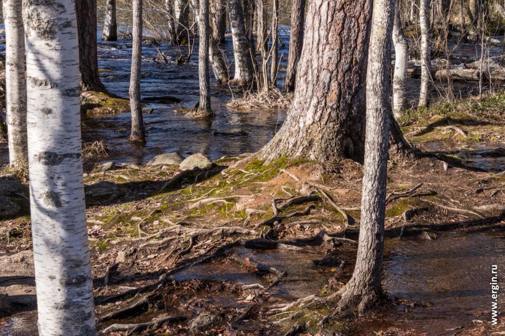 Весенний паводок в Лиексе Нейтикоски залиты корни деревьев